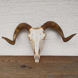 The ram's skull